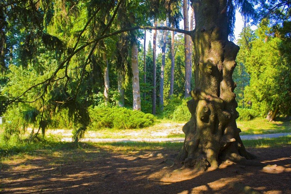 Старый ствол ели в парке Тростянец