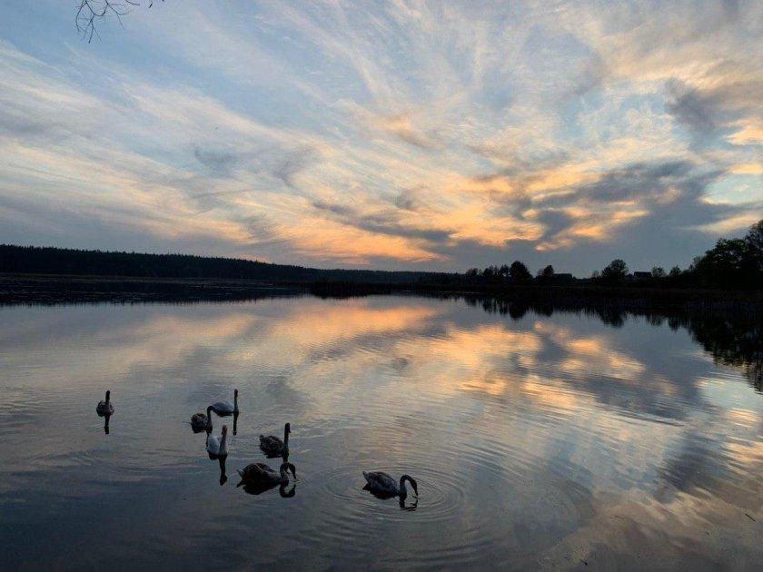 Озеро с лебедями возле замка Радомысль