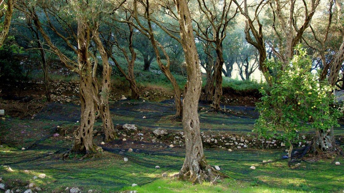 Оливковые рощи Корфу