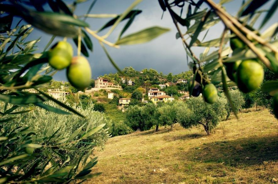 Оливковые деревья в Греции