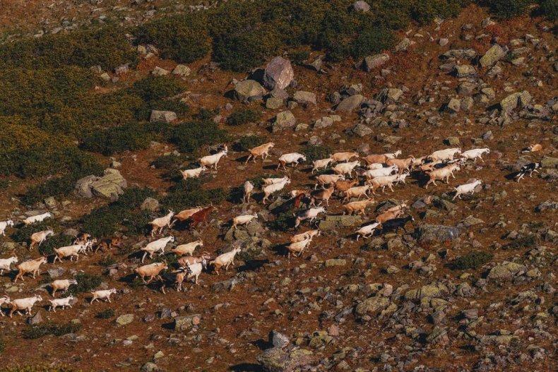 """Стадо коз в горах """"Хутора"""". Сочи"""